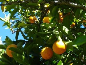 Reife Orangen frisch vom Baum...
