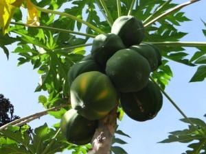 Papayas...